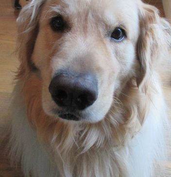 golden retriever dog close-up